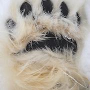 Polar bear (Ursus maritimus) hind foot, paw. Kaktovik, Alaska