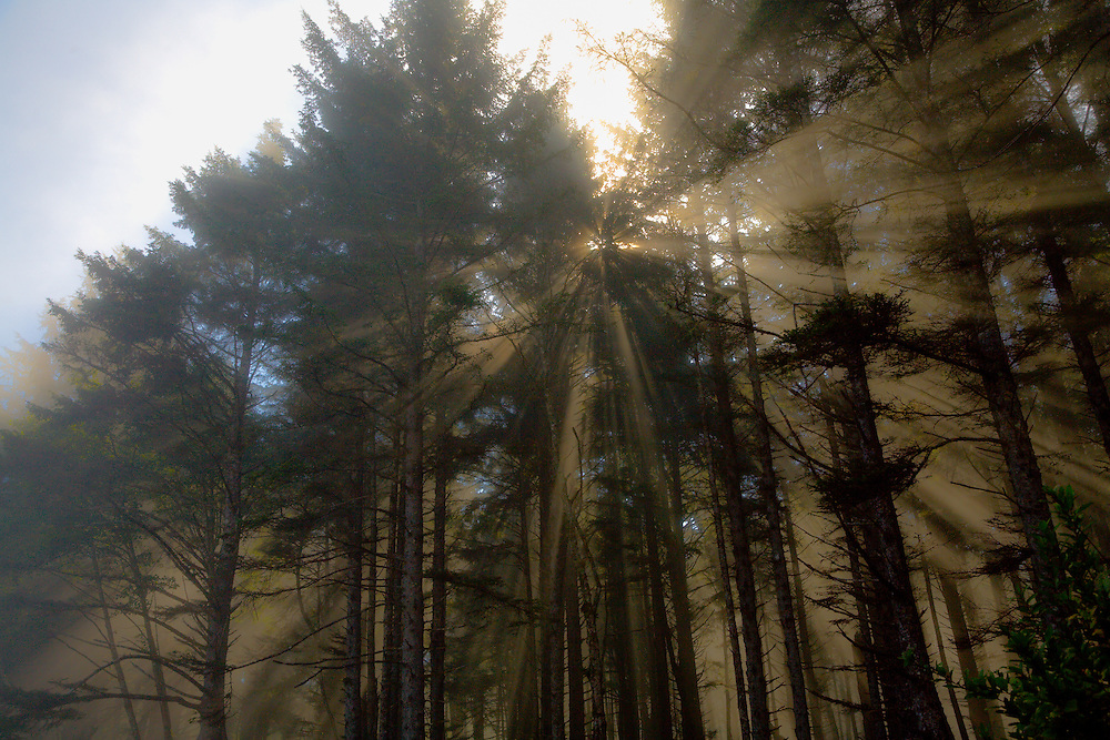Open Edition<br /> Coastal fog creates mysterious sun rays through the  forest at Cape Lookout on the Oregon Coast