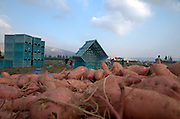 Picking sweet potatoes (Ipomoea batatas). Photographed in Israel Jordan Valley Kibbutz Ashdot Yaacov