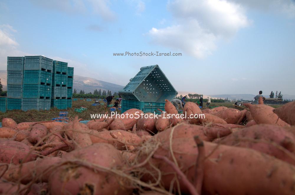 Picking sweet potatoes (Ipomoea batatas). Photographed in Israel Jordan Valley Kibbutz Ashdot Yaacov