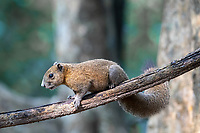 The grey-bellied squirrel (Callosciurus caniceps) is a species of rodent in the family Sciuridae. It is found in forests, plantations and gardens in Thailand. As suggested by its name, its belly is usually grey, though sometimes reddish on the sides. Depending on subspecies and season, the upperparts are grey, yellowish-olive or reddish.