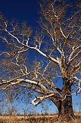 A sycamore tree grows along Gardner Canyon Road, Sonoita, Arizona, USA.