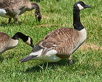 Canada Geese. Sourland Mountain Preserve. Image taken with a Nikon D3s camera and 80-400 mm VR lens.