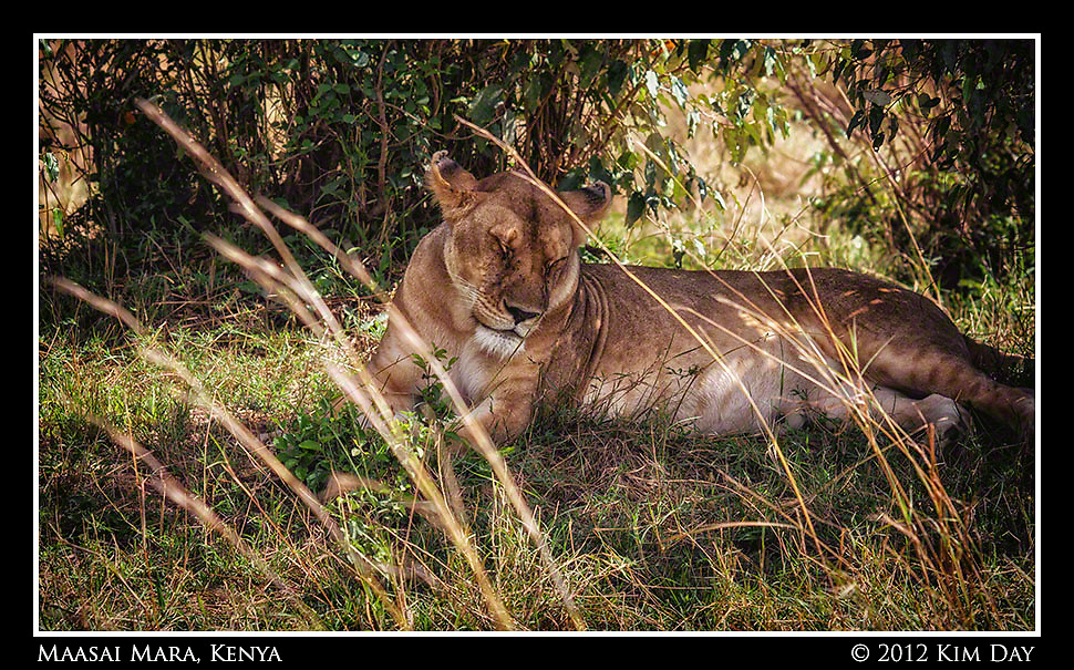 Dozing Lioness.Maasai Mara, Kenya.September 2012