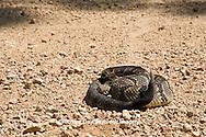 02907-00502 Timber Rattlesnake (Crotalus horridus) in road, Iron Co.  MO