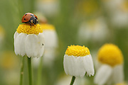Coccinella septempunctata, the seven-spot ladybird on a Common Chamomile flowers Photographed in Israel