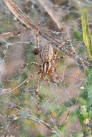 """Also known as the western funnelweb spider or funnel weaver, the desert grass spider is a large highly territorial member of the Agelenidae family of spiders that can be found in the arid Southeastern United States and Northern Mexico. Although it is called a grass spider, it is most often found in prairies, rock piles and in thorny brush in its very characteristic and large non-sticky funnel web with a tubular """"hole"""" where it waits for prey. This large female was found in a mesquite thicket just south of Mission, Texas using a Christmas cholla cactus to support its web. If you look closely, you can see she's lost a foreleg and pedipalp some time ago, and now they are growing back. Both will get closer to full-length each time she molts."""