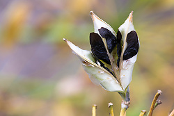 Seed heads of agapanthus