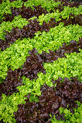 Lettuce  'Red and Green Salad Bowl'
