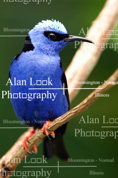 05 June 2005 <br /> <br /> Red-Legged Honeycreeper<br /> <br /> Miller Park Zoo, Bloomington, Il (Photo by Alan Look)