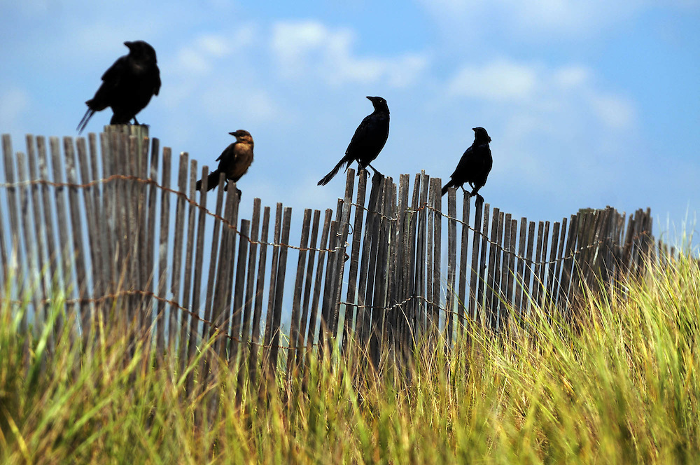 Crows perch on a fence near the Kure Beach Pier Tuesday, Aug. 16, 2011. Photo By Mike Spencer/STAR-NEWS