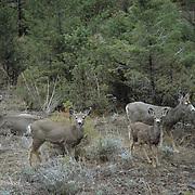 Mule Deer, (Odocoileus hemionus) Group of does and yearlings. Bridger Mountains. Montana.