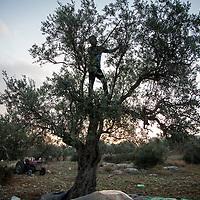Olive harvest in Jenin, Palestine.