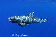 pygmy killer whale, Feresa attenuata, South Kona, Hawaii ( the Big Island ), United States ( Central Pacific Ocean )