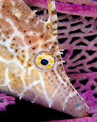 slender filefish, Monacanthus tuckeri, at night, sleeping safely against current by holding onto a corner of sea fan, Gorgonia sp., in its mouth, Towanda (City of Washington) wreck, Key Largo, Florida Keys National Marine Sanctuary, Atlantic Ocean