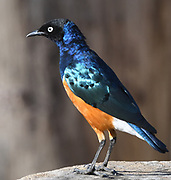A superb starling (Lamprotornis superbus) with its superb iridescent feathers displayed by the morning sun. Sanya Juu, Boma Ngombe, Tanzania.