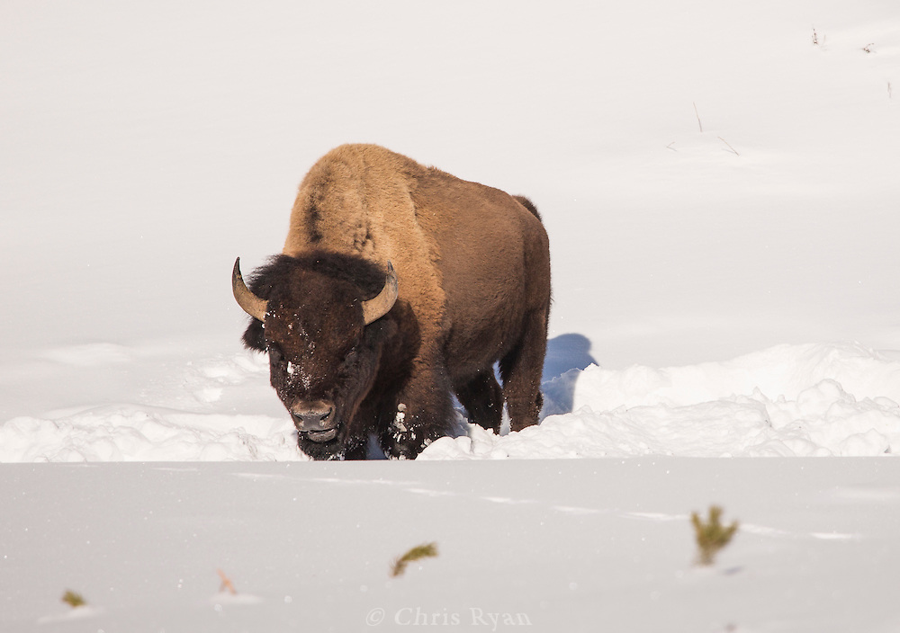 Bison foraging in the snow, Yellowstone National Park