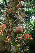 Cannonball tree, Senator Fong's Plantation Garden