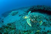 Loggerhead Sea Turtle (Caretta caretta) in Palm Beach County, FL.