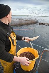 Feeding the Cod on a fish farm on Burray; Orkney; Scotland,