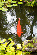 Red carp fish in pond