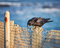 American Crow. Image taken with a Nikon D3x camera and 70-300 mm VR lens.
