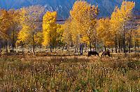Fall Aspens, Eastern Sierra