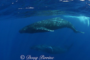 humpback whales, Megaptera novaeangliae, female (above) is followed by male escort (below), Kona, Hawaii, caption must note taken under NMFS research permit #587