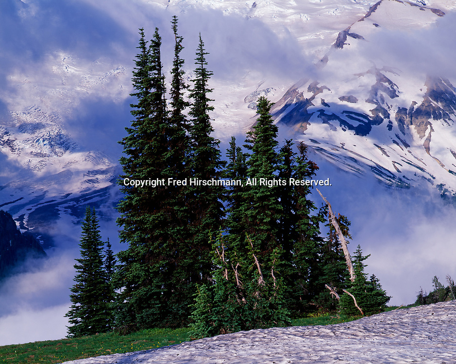 Silver Firs, Abies amabilis, with a backdrop of fog and Emmons Glacier on the slopes of Mount Rainier, view from Yakima Park, Mount Rainier National Park, Washington.