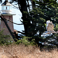 A great blue heron lifts off from Lighthouse Field State Park in front of the Mark Abbott Memorial Lighthouse in Santa Cruz, California.<br /> Photo by Shmuel Thaler <br /> shmuel_thaler@yahoo.com www.shmuelthaler.com