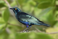 Greater Blue-eared Starling - Lamprotornis chalybaeus)<br /> aka Greater Blue-eared Glossy Starling
