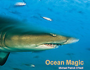 Absolute enchantment, Ocean Magic illustrates the diversity and complexity of the <br /> underwater world and gives its residents a voice.<br /> <br /> Photographs speak volumes, and Michael's capture the spirit of the subjects he is <br /> so passionate about – marine animals of all shapes, sizes and colors.<br /> <br /> His writing style, casual yet instructive, awakens the naturalist and explorer in each<br /> of us and promotes a lifetime of learning and conservation.<br /> <br /> ISBN 978-0-9728653-5-7<br /> 8.5 x 11 inches (landscape)<br /> Hardcover with dust jacket; 48 pages<br /> $19.95<br /> Ages 6 and up