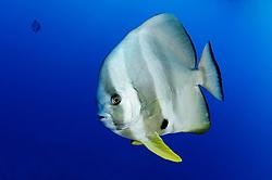 Platax teira, Langflossen-Fledermausfisch, Longfin Batfish or Spadefish, Rotes Meer, Ägypten, Red Sea Egypt