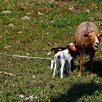 Central America, Cuba, Caibarien. Goats of Caibarien.