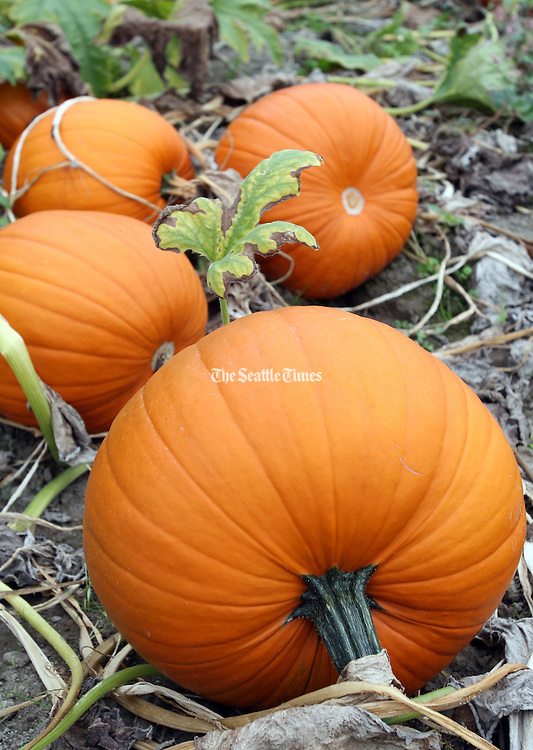 Pumpkins line up at the Carpinito Brothers annual pumpkin patch.<br /> Chris Joseph Taylor / The Seattle Times