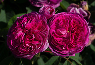 Rosa 'Arthur de Sansal' a crimson old rose at  Chiswick House Gardens, Chiswick House, Chiswick, London, UK