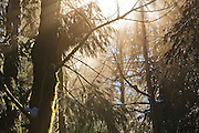 Dawn light filters through tree branches and mist in a dense forest in North Cascades National Park, Washington.
