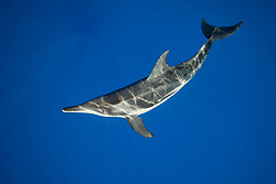 rough-toothed dolphin, Steno bredanensis, analyzing the photographer by using impulse-type (click-type) sonar for precise echolocation and imaging, Kona Coast, Big Island, Hawaii, Pacific Ocean Oce