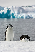 A pair of Chinstrap penguins (Pygoscelis antarctica)  rest on a snow covered shore with icebergs on the horizon, Half Moon Bay, Half Moon Island, Antarctica.