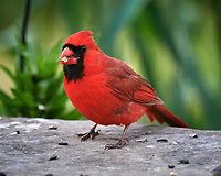 Northern Cardinal Image taken with a Nikon D5 camera and 600 mm f/4 VR lens (ISO 1600, 600 mm, f/5.6, 1/1250 sec).