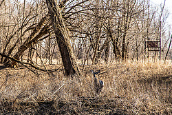 White-tail deer (Odocoileus virginianus) attempting to hide in the heavy tree thicket at Sanganois State Fish and Wildlife Area in Illinois