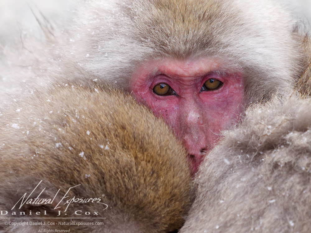 Snow monkey (Macaca fuscata) family huddling together for warmth in the cold of winter. Jigokudani Monkey Park, Japan