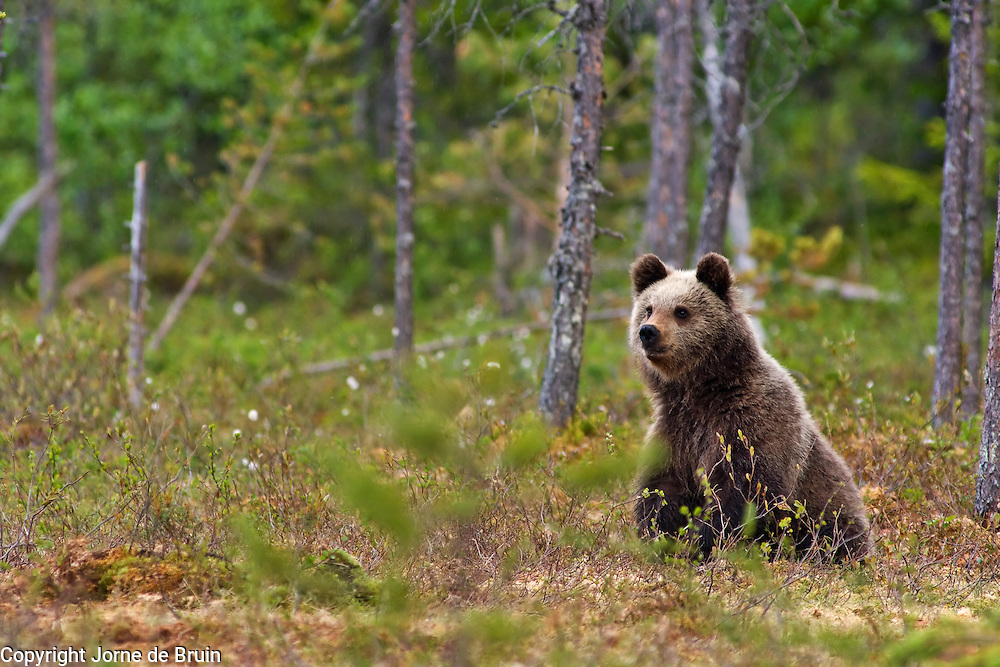 An Eurasian Brown Bear Cub sits in a swamp in Finland.