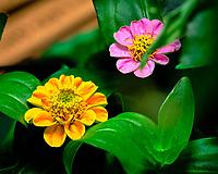 Yellow Thumbelina Zinnia Flower. AeroGarden Farm 04 Left. Fuji X-T3 camera and 80 mm f/2.8 OIS macro lens (ISO 800, 80 mm, f/11, 1/30 sec).
