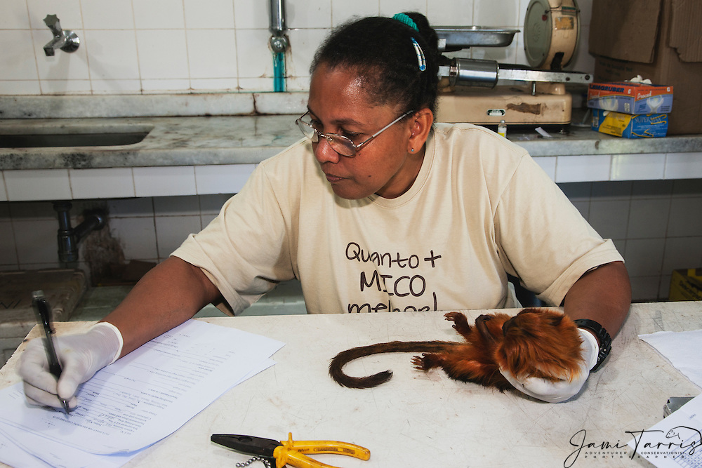A research biologist taking notes and reporting data on a tranquilized golden lion tamarin in the lab  (Leontopithecus rosalia) ,Brasil, South America