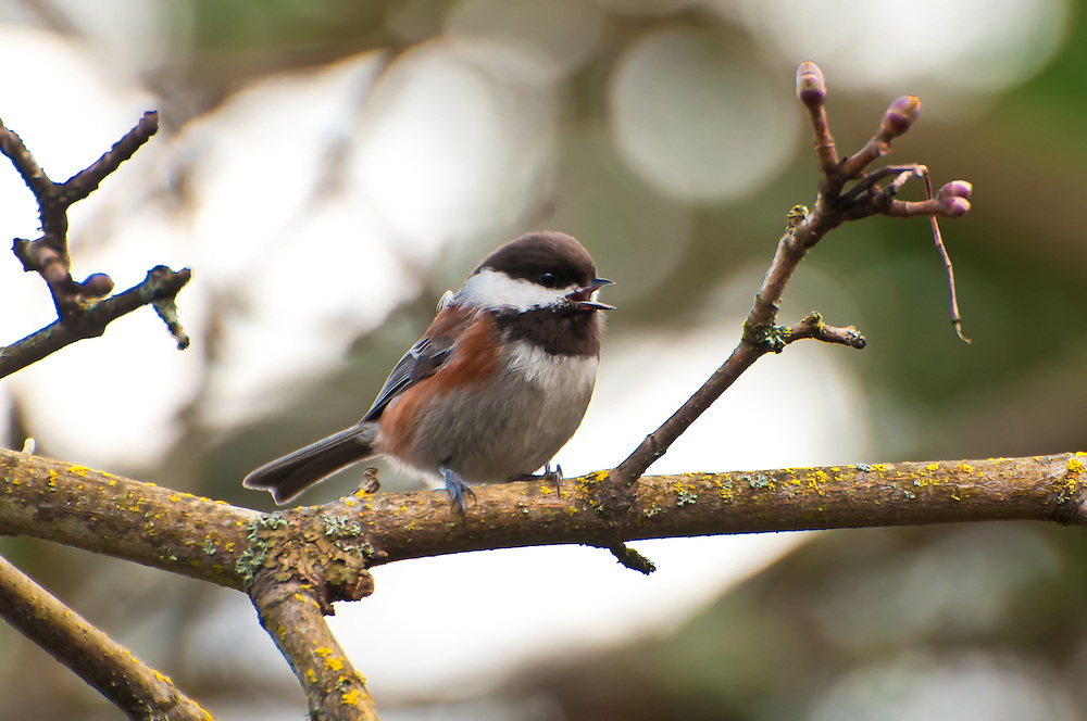 A chestnut-backed chickadee perches in a maple tree south of Seattle.