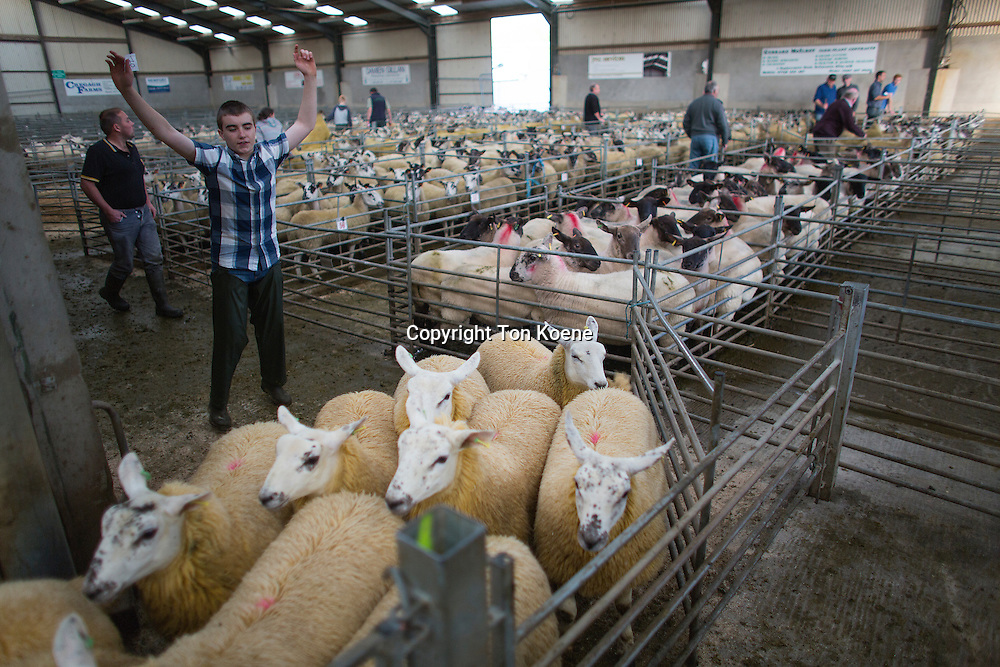 Daily sheep auction in Armoy, Northern Ireland