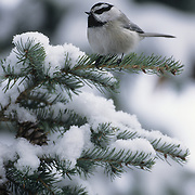 Black-capped Chickadee on a snow-covered Douglas Fir Tree during the winter.
