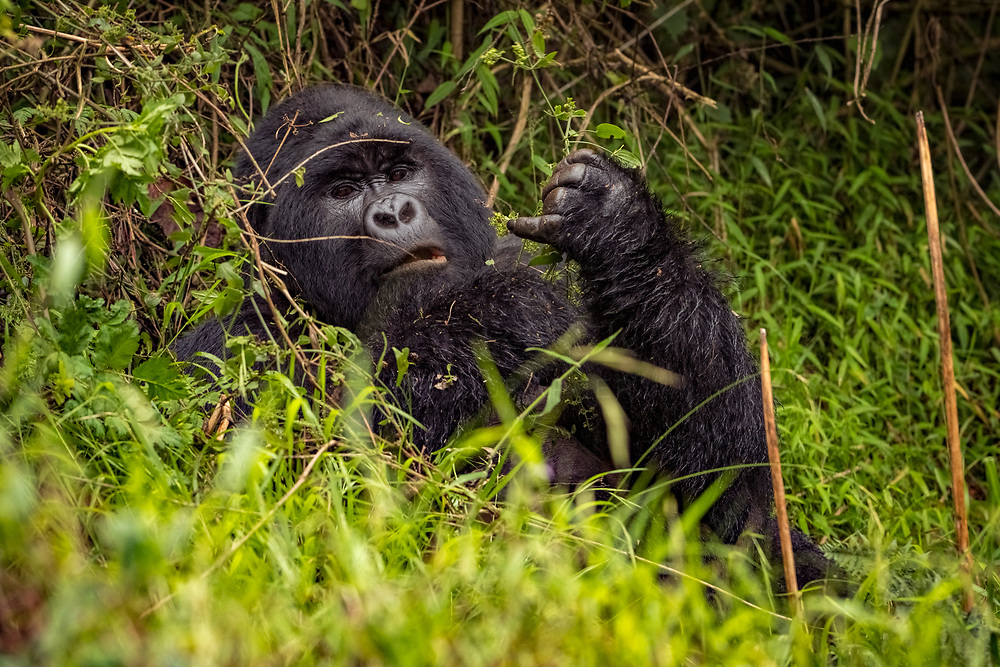 A gorilla relaxing in the undergrowth and long grass.<br /> <br /> Open Edition Print / Stock Image
