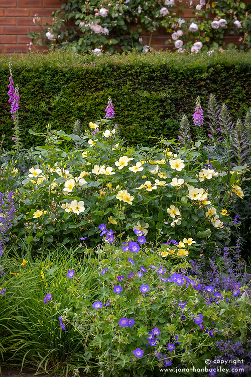 Rosa 'Tottering-by-Gently' growing in a border with nepeta, geraniums and foxgloves